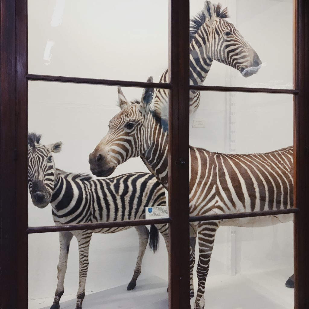 zebra, taxidermy, cabinet of curiosities, wunderkammer, secret florence, natural history museum, quirky, antique museum, old style, la specola,